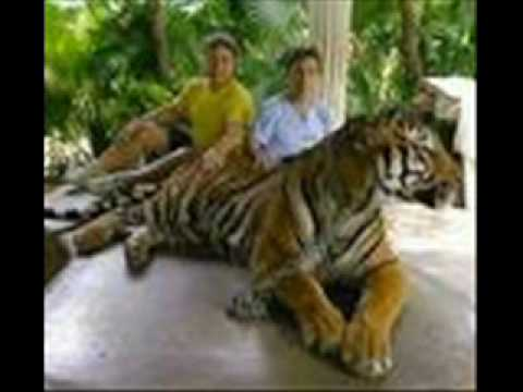 biggest tigers - Picture of Tiger Kingdom - Chiang Mai ...  |Biggest White Tiger In The World