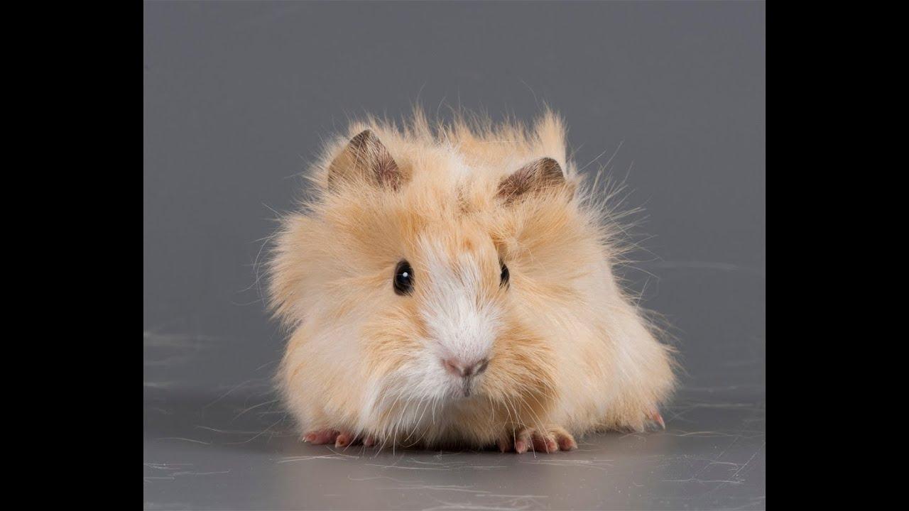 Ce să mănânce porci de guineea cobai - cobai - catalog de articole - hamster și