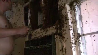 Honey Bee Hive removal- Exposed Hive indoors by Luis Slayton of Bee Strong Honey and Bee Removal #10