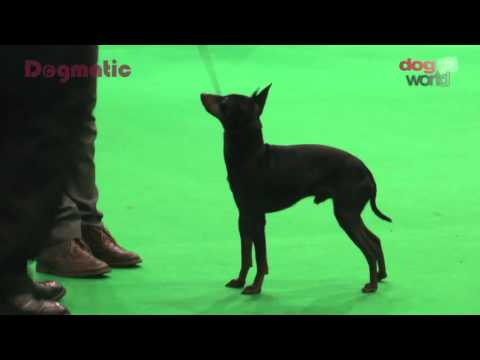 Midland Counties Dog Show 2015 - Toy group FULL
