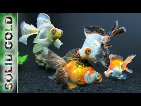 Are these even the same fish butterflies for sale t for Solid gold fish