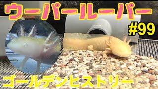 ウーパールーパー 飼育動画‼︎99ゴールデンヒストリー thumbnail