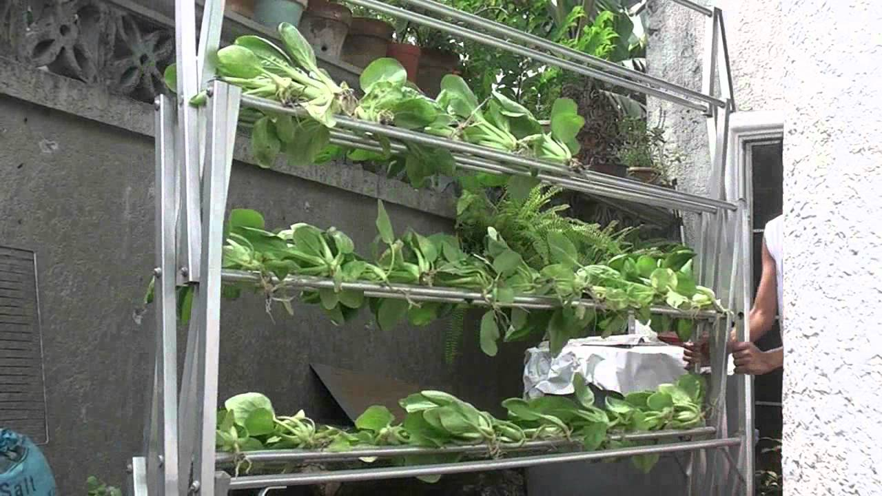 Home Farming Harvesting Chinese Pechay Chinese Cabbage