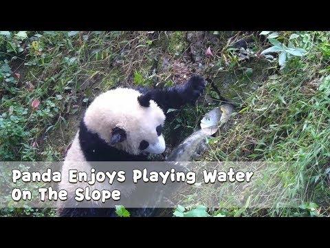 Panda Enjoys Playing