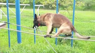 Police Dog in Blindfolds Walks Expertly on Tightrope  10494875