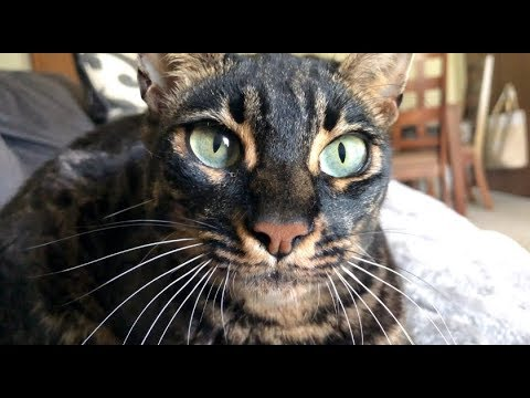Bengal Cat Meowing Compilation HD