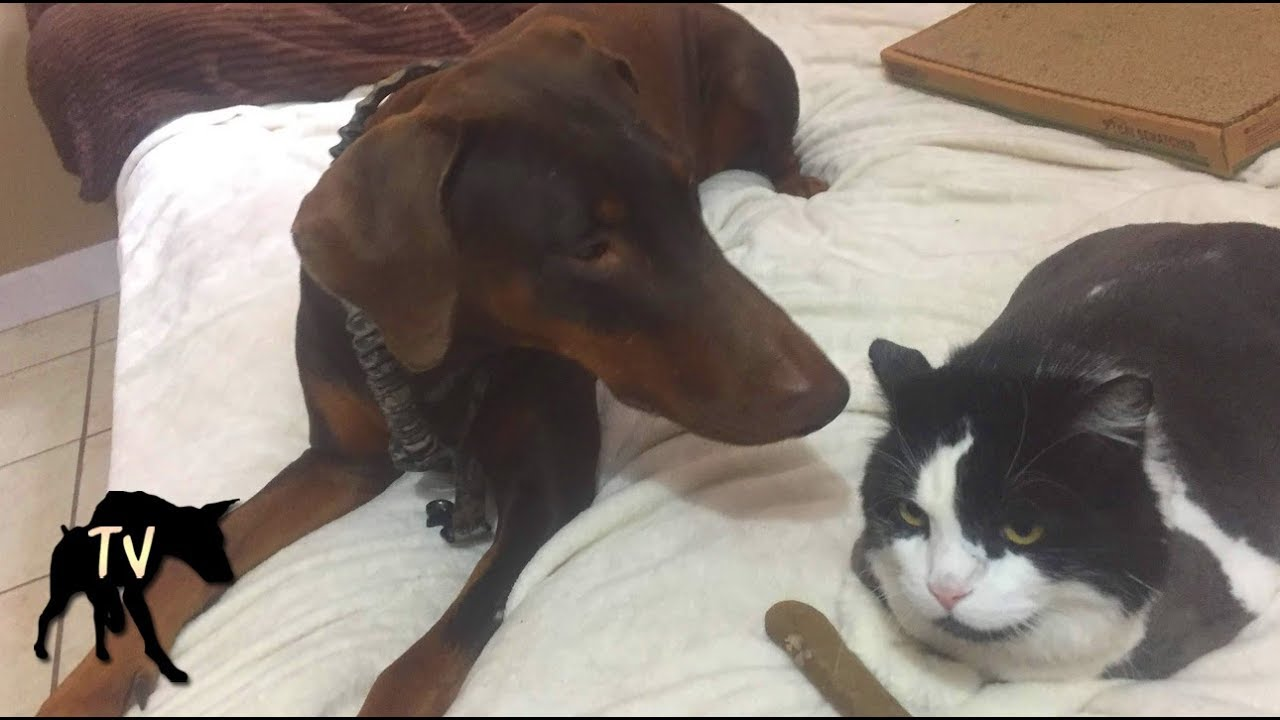 Introducing Doberman To A Cat Dog Vlog Youtube