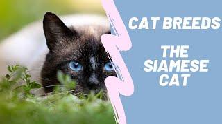 THE SIAMESE CAT  CAT BREEDS
