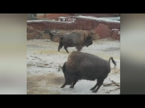 Playful Bison Caught Frolicking in the Snow