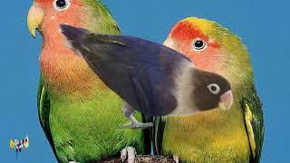 كم تبيض أنثى طيور الحب من بيضة ؟ ماهي مدة الحضن؟ شاهد خروج الفرخ من العشة   سبحان الله