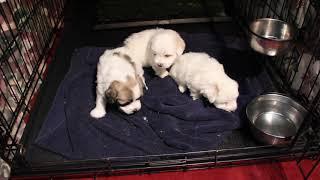 Coton de Tulear Puppies For Sale 2/4/20