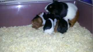 Baby guinea pigs : names