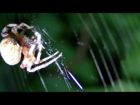 Araneus Spider Finishing Web