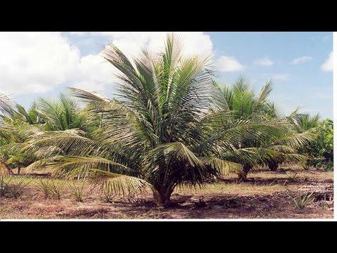 Clique e veja o vídeo Curso Controle de Pragas e Doenças do Coqueiro