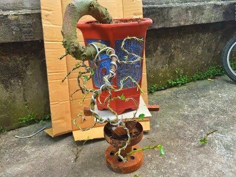 """Hướng dẫn kỹ thuật uốn cây sung """"Huyền' - Fig tree bonsai bending technique for beginners!"""