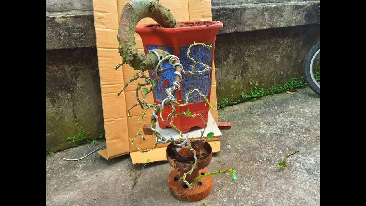 """Hướng dẫn kỹ thuật uốn cây sung """"Huyền' – Fig tree bonsai bending technique for beginners!"""