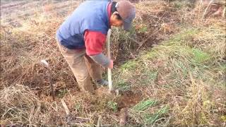 자연산마 캐는 과정