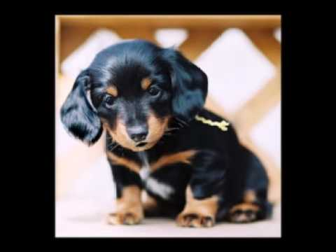 Funny Birthday Song Munchkin The Dachshund