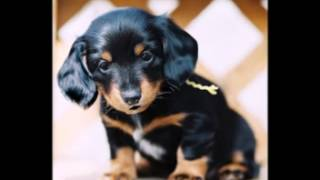 Funny Birthday Song (munchkin The Dachshund)