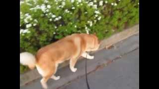 4月21日にかい(北海道犬)が虹の橋の袂へ行ってしまいました。 4月...