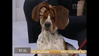 Бассет-хаунд улыбнись: веселим самую грустную собаку