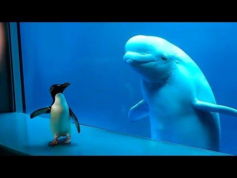 Ein Weißwal sieht zum ersten Mal einen Pinguin. Seht selbst, was dann passiert