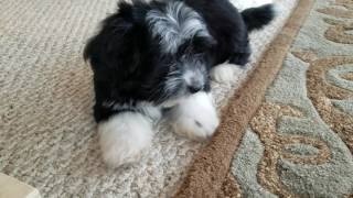 Gracie loves to talk to us at Heavenly Havanese! What a little doll!