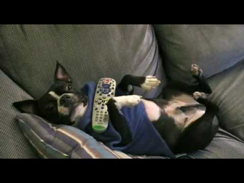 Snuggie Commercial!  Boston Terrier!
