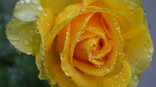 Yellow Roses • Sung by Dolly Parton