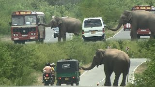 Gambar cover Huge Wild elephant waiting for food !