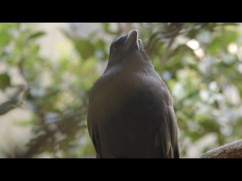 First 'Alalā of 2016 Hatches at Hawaiian Bird Center