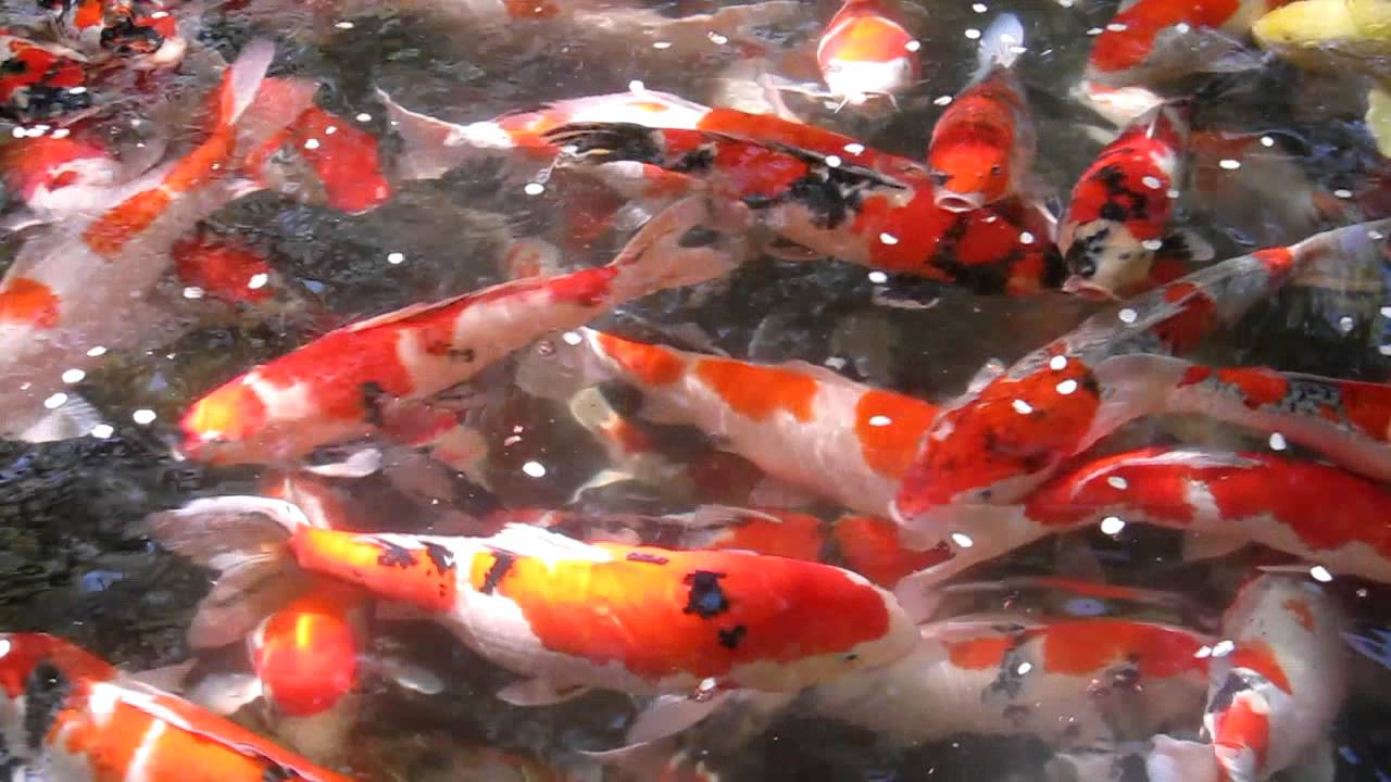 45 Traditional Japanese Koi Fish Tattoo Meaning Designs: Beautiful Koi Fish In Pond Happo-en Temple In Tokyo, Japan
