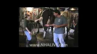 Milking Cows at Swain Farm in Sanbornton, NH