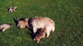 Zalazar Cairn Terrier hvalpe