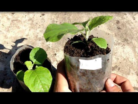 Хитрости выращивания здоровой рассады баклажан / Рассада баклажан / Как и когда подкармливать
