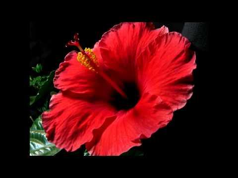 Red Hibiscus Flower Blooming उमलणारं जास्वंदाचं फूल Series3