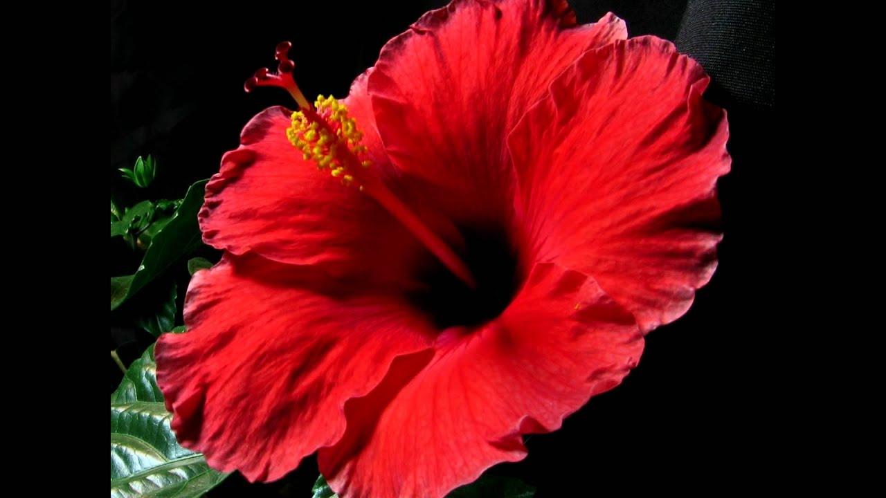 Red hibiscus flower blooming red hibiscus flower blooming series3 izmirmasajfo