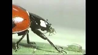 #Hashoratlar   Biologik kurash bo'yicha   Controladores biológicos depredadores y parasitoides