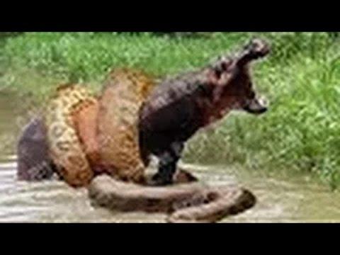 Giant Anaconda Eats Hippo