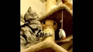 猫タワーの頂上をめぐって同居猫が猫パンチです.