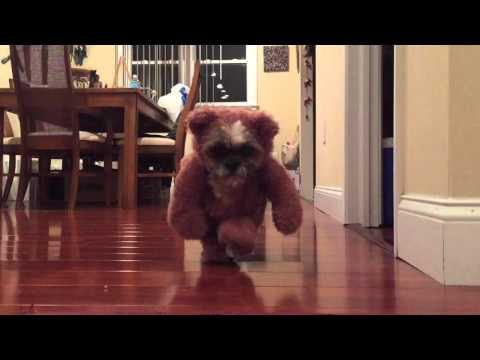 Cute Shih Tzu Dog Teddy Bear Costume Ewok Star Wars
