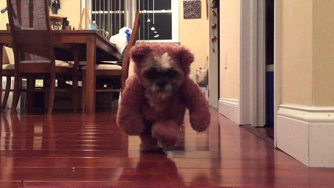 Cute Shih Tzu Dog Teddy Bear Costume Ewok Star Wars - YouTube