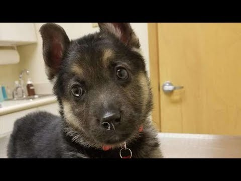 Baby German Shepherd With Just One Year Left To Live Gets A Twist No One Saw Coming