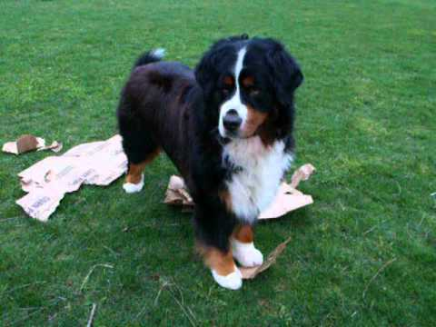 Bernese Mountain Dog- Recycle Dog!