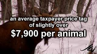 $7,900  Parks Canada Cost to kill a moose, real issues for real people - Let
