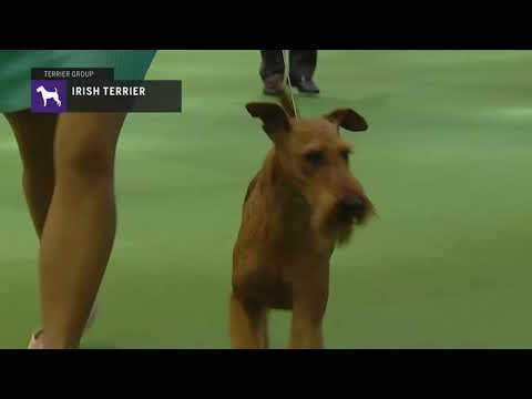 Irish Terriers | Breed Judging 2019