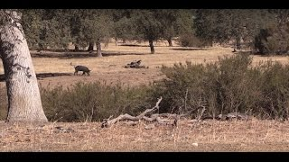 California Wild Pig Hunt Paso Robles CA *** Warning Graphic***