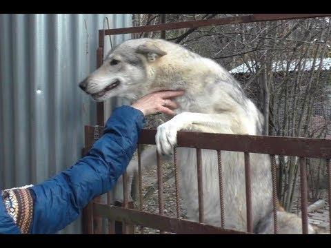 Чехословацкий влчак: вот такой он - необычный и классный!