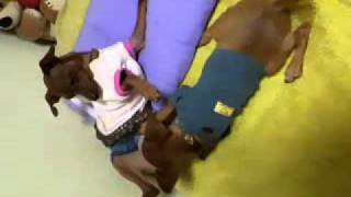 3ヶ月のミニチュアピンシャーが一時預かり宅で先住犬のオッパイを一生懸...