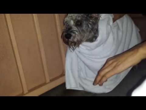 Blind/ Deaf Schnauzer Dog Rescue on Rainy Vegas Day